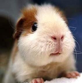 天竺鼠の画像 p1_8